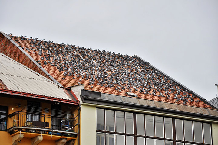 A2B Pest Control are able to install spikes to deter birds from roofs in Braintree.